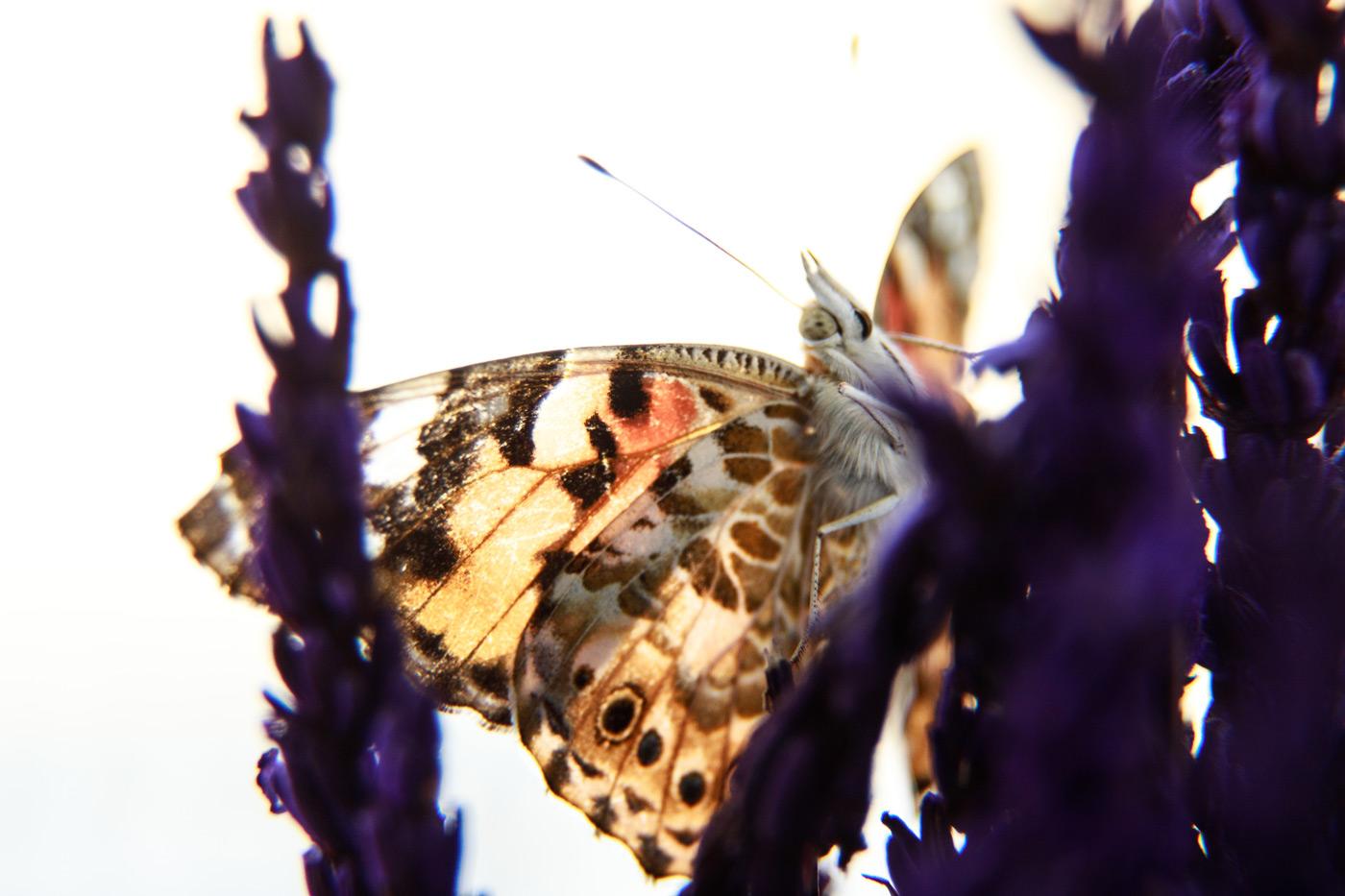 mariposa preciosa posada en una flor de lavanda