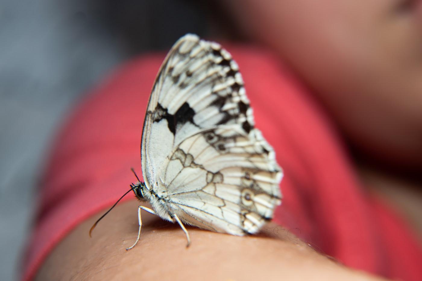 mariposa melanargia ines