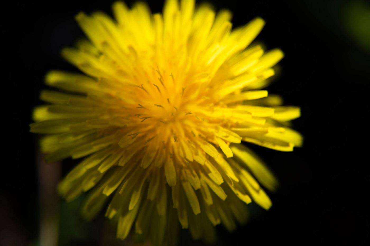 flor amarilla diente de leon